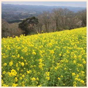 マザー牧場・菜の花畑