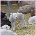 マザー牧場の子羊